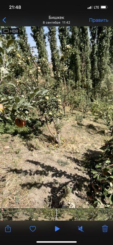 15 объявлений: Продаю яблоко оптом (разные сорты) село Тогуз булак  Ысык ата район пр
