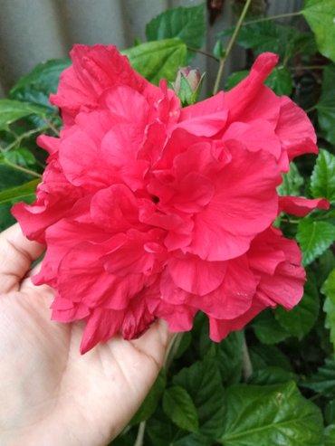 Гибискус. Китайская роза. Продаю 2 в Бишкек