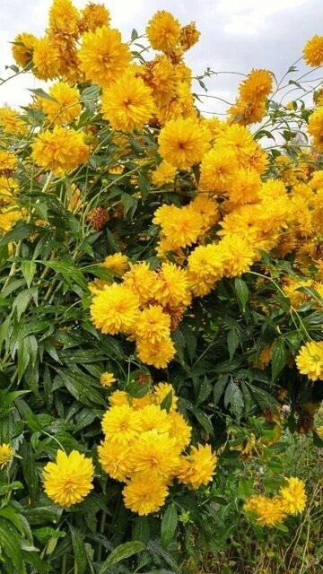 Садовые цветы, золотой шар в Бишкек