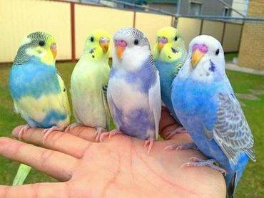 Ручные Волнистые ПопугаиВсего лишь 500 сомВсе попугаи недавно вылетели