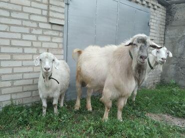С/х животные в Кыргызстан: Продаются козы  Заненская парода 2 годовалая  1 годовалая  Козел За