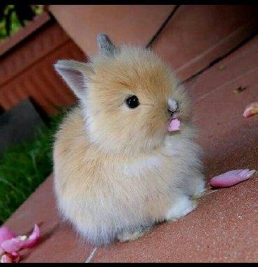 Ev dovşanı balaları satılır. Cırtdan(karlik) cinsi. Sağlam və təmizdil