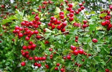 Семена и уличные растения - Кара-Балта: Баярышник свежий. Ватс апп писать