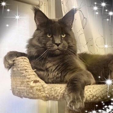 Предлагается кот Мейн -Куна,для вязки. в Бишкек