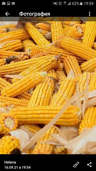 Куплю! Кукурузу в початках сухую 3 тонны #кукуруза  #початки