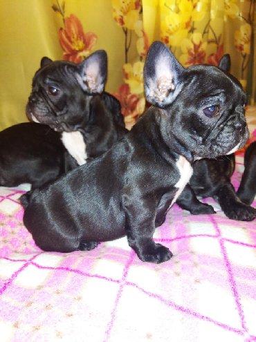 бесплатные собаки в Кыргызстан: Продаются щенки французского бульдога. Веселые, жизнерадостные и забав