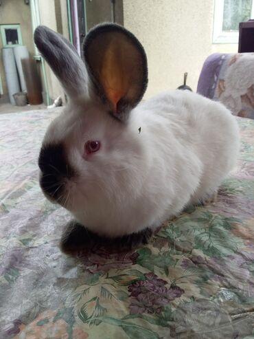 Грызуны - Кыргызстан: Продаю крольчат Калифорния возраст 2 месяца есть две разные линии при