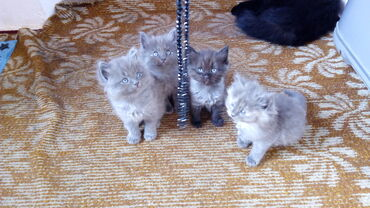 Коты - Кыргызстан: Продаю котят британцев, без документов. Папа кот, британец. Мама кошка