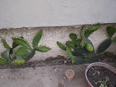 Kuća i bašta | Backa Palanka: Velik list kaktusa a na njemu jos listovacvetovi zuti prelepi,moze