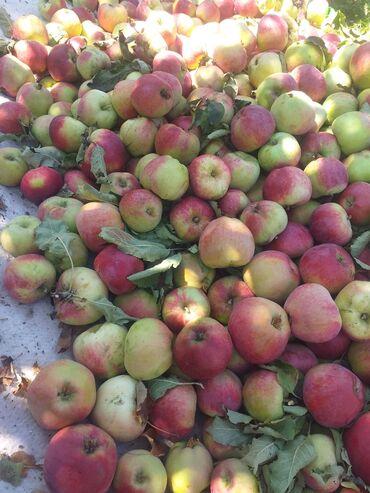 44 объявлений: Продаю яблоки сорта Рашида по 40 сом за кг Торг уместен звоните
