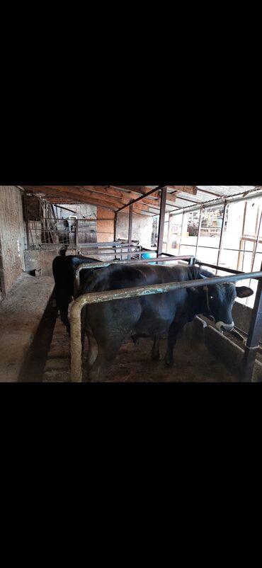 Животные - Арашан: Бычки Упитанные! Осталось два бычка!