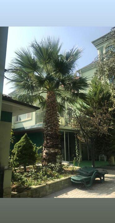 Palma agaci.20 ilin agacidi. azn.unvan papanin.pl62(nuna)