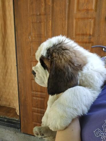 Продаются шикарные щенки сенбернара с док.Есть мальчики и девочки в Бишкек
