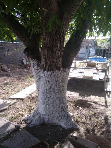 Семена и уличные растения - Кара-Балта: Продаю ареховое дерево большое