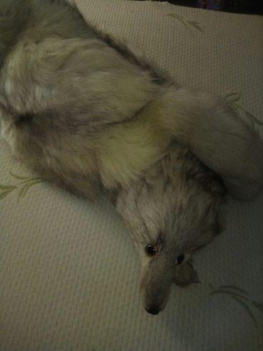 Bela-lisica - Srbija: Polarna lisica stara 31 g iz Rusije