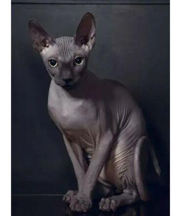 Связи с выездом продаю котика сфинкса! Возраст 4 месяца кушает всё!
