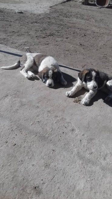 Продается щенок чистокровного алабая, девочка в Каракол