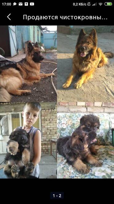 Животные - Новопокровка: Продаются чистокровные щенки немецкой овчарки два мальчика и одна