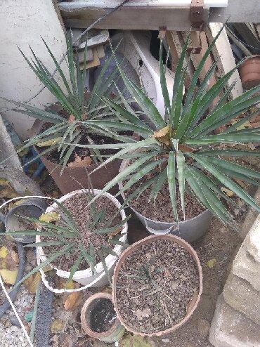 monstera bitkisi - Azərbaycan: Dekorativ həyət bitkisi