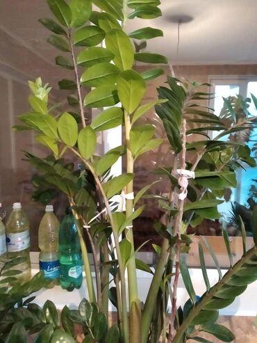Продаю отростки растений . Все вопросы по телефону