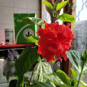 Комнатные растения - Кыргызстан: Шикарная Китайская Роза. Выращена с душой и любовью с маленького