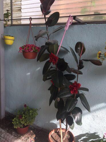 цветы купить в горшках в Кыргызстан: Домашние цветы
