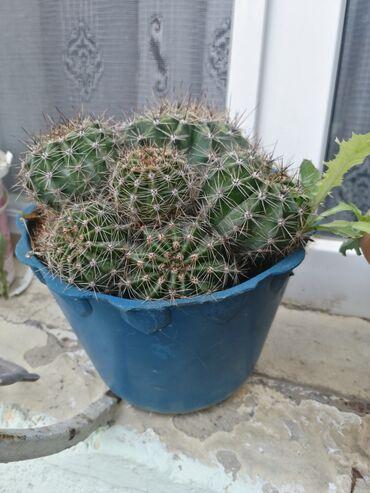 Kaktus - Azərbaycan: Kompyuter wuasindan qoruyur