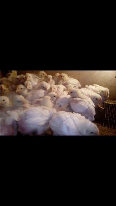 3-х недельный цыплёнки бройллеры продается.В Гавриловке.Ватсапп;+