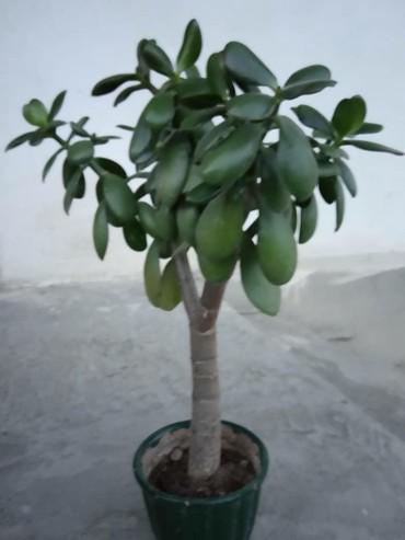 цветущий денежное дерево в Кыргызстан: Денежное дерево