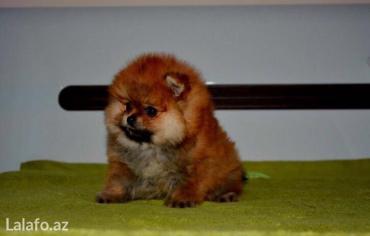 Bakı şəhərində Orijinal Pomeranian shpic dan. Bütün sənədləri ilə birlikdə,Ukrayn
