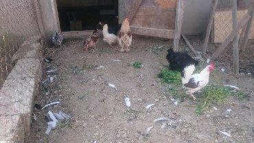 yaponka toyuq - Azərbaycan: Yaponka yumurtasi satilir