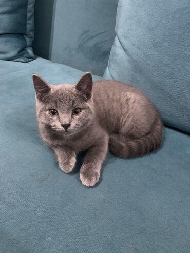 британский короткошерстный котенок в Кыргызстан: Котёнок ! Девочка к лотку приучена очень умная и спокойная ! Самов