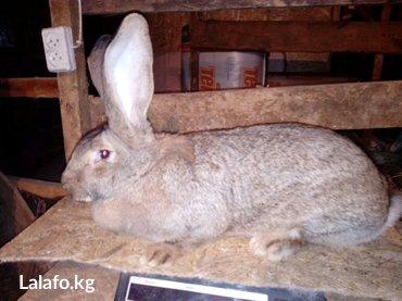 продаются кролики породы немецкий ризен. в Бишкек