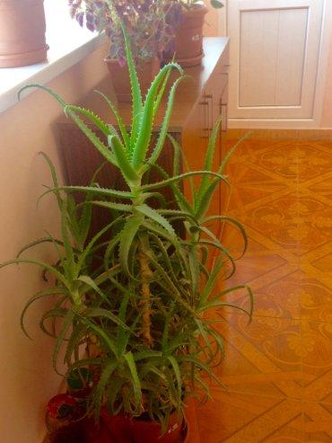 Xırdalan şəhərində Aloe gulu 5 illikdi