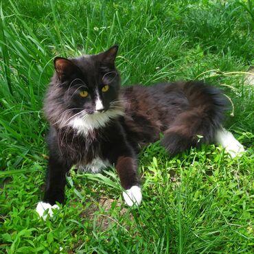Коты в Душанбе: Норвежская леснаяПитомник Gala-Bijou дружелюбный и независимый