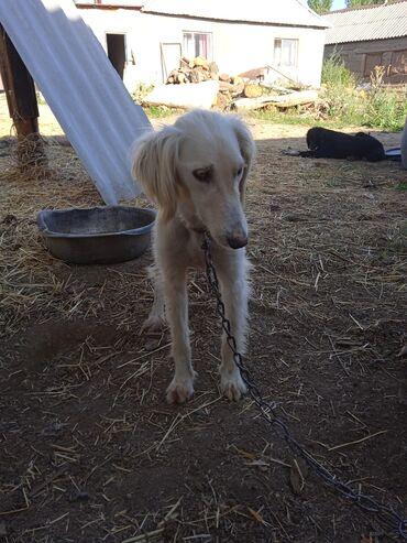Животные - Чон-Далы: Продаётся собака