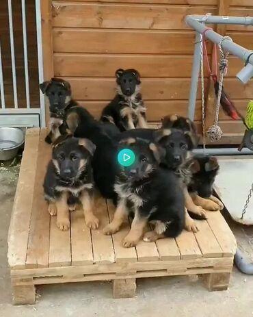 Pure Bred Full Γενεαλογικό Σιβηρικό Husky PupsΈχουμε καθαρά μεγαλόσωμα