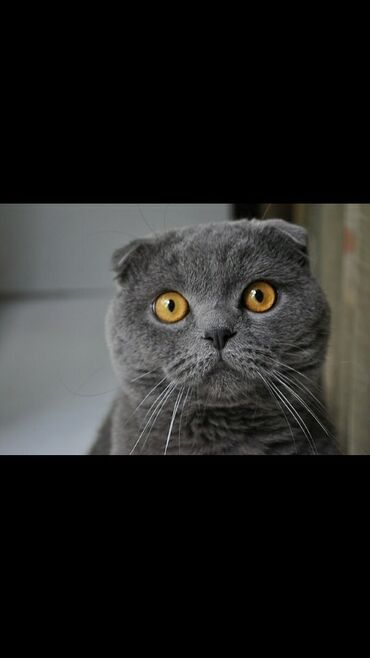 Коты - Ош: Срочно!!! Вязка!!! Шотландец вислоухий(Скоттиш фолд). Нужна девочка