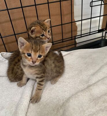 Savannah kittensBoth genders available, vaccinated and wormed, potty
