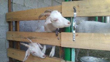 Козье молоко. 100 сом. литр своя ферма