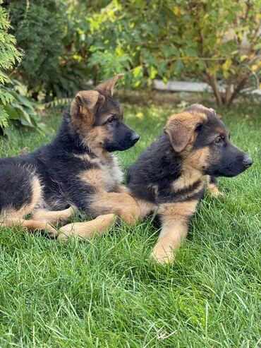 Продаются щенки немецкой овчарки.    С отличной родословной, чистых кр