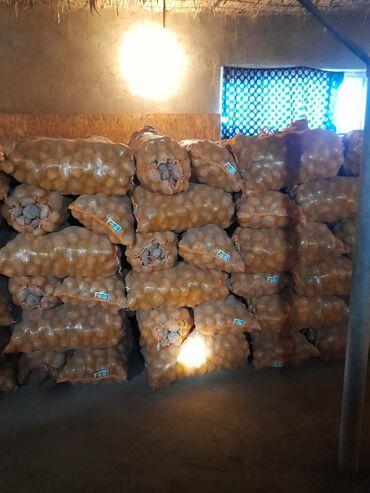 нцт 2019 ответы в Кыргызстан: Продаю картошку семена сорт Пикассо привезённый из Голландии с 1 гекта