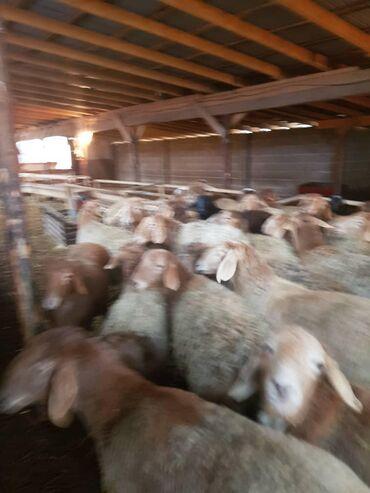 Продаю | Овца (самка) | Гиссарская | Для разведения | Ярка