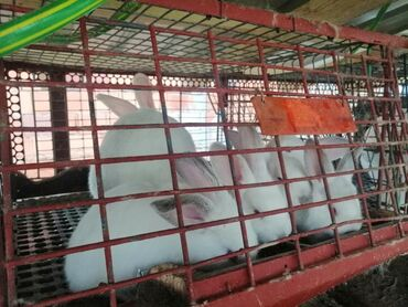 Papuce iz pariza - Srbija: ZeceviNa prodaju hajkomi, panon beli, bikolori i patuljasti zecevi