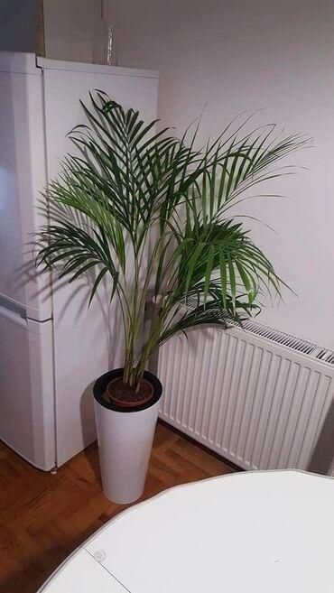 Zenska torbica sirine cm visine cm - Srbija: Areca palma visine 110 cm