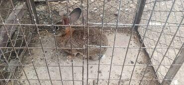 101 объявлений   ЖИВОТНЫЕ: Продается кралиха с 2-мя крольчатами (чуйская область, джель-арык)