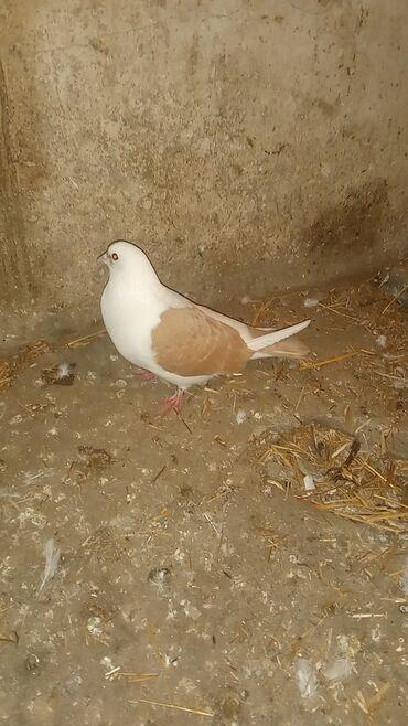 Животные - Гёйтепе: Птицы