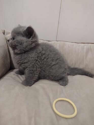 British Shorthair for sale ready now WhatsApp me +33 We have male and