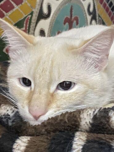 Животные - Кыргызстан: В добрые руки!!!  Отдам даром котика, который приносит удачу.От глист