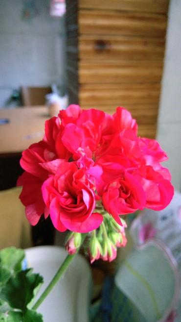 сансевиерия зеленая в Кыргызстан: Пеларгония красная розовидная, зональная, листва насыщенно-зеленая
